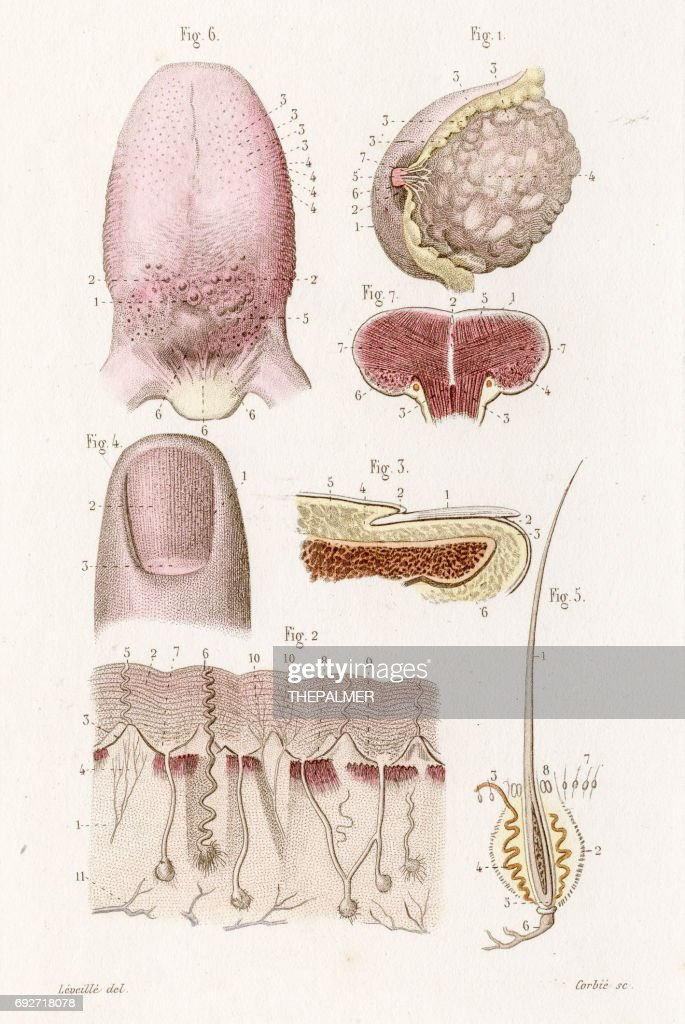 Tongue Thumb Anatomy Engraving 1886 Stock Illustration | Getty Images