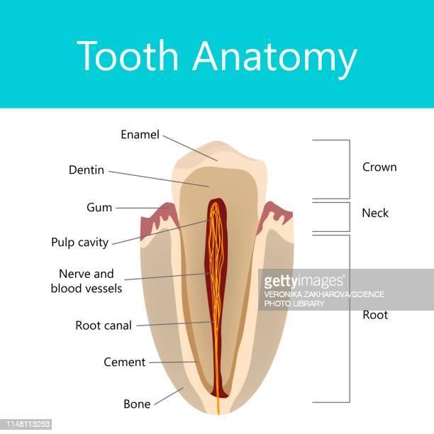 tooth anatomy, illustration - dentin stock illustrations