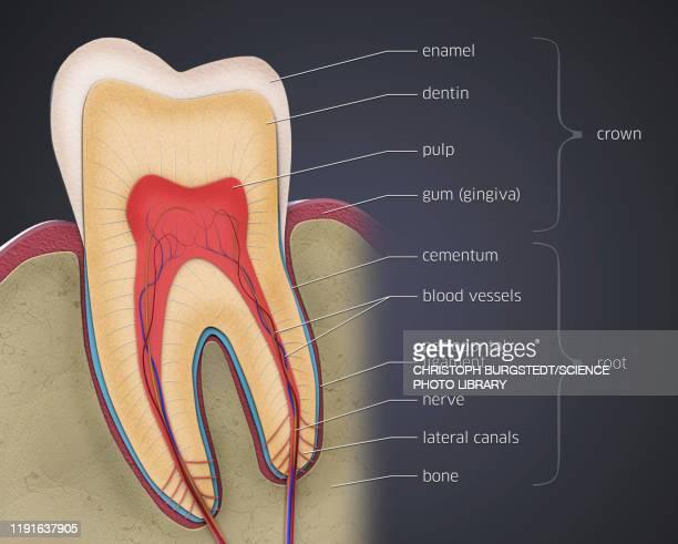 tooth anatomy, illustration - enamel stock illustrations