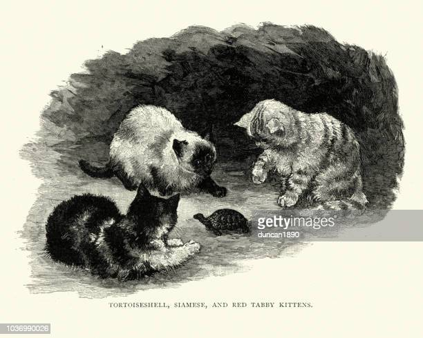 tortoiseshell, siamese and red tabby kittens - young animal stock illustrations, clip art, cartoons, & icons