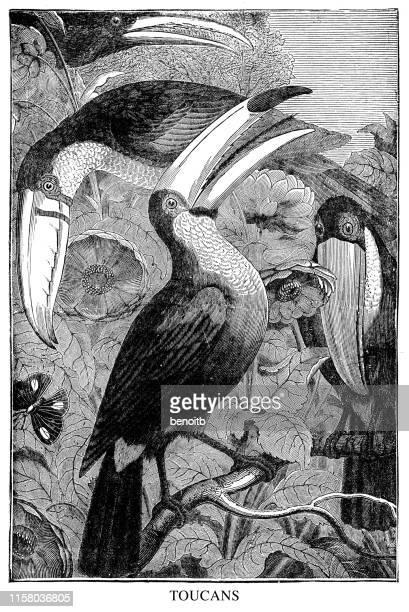 toucans - toucan stock illustrations