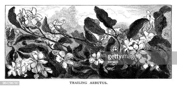 ilustrações, clipart, desenhos animados e ícones de trailing arbutus - pilritreiro