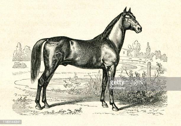 trakehner rasse reitpferd aus preußen illustration - manly wilder stock-grafiken, -clipart, -cartoons und -symbole