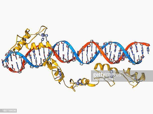 transcription factor and ribosomal rna - rna stock illustrations, clip art, cartoons, & icons