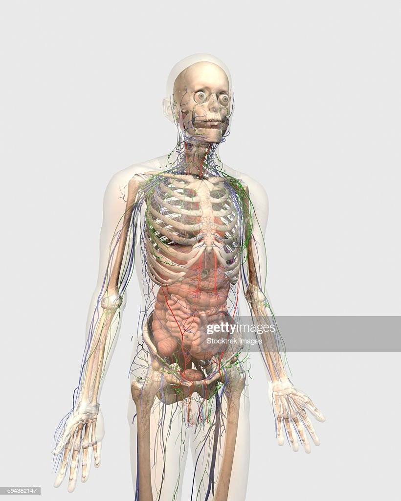 Transparent Human Body With Internal Organs Lymphatic System And
