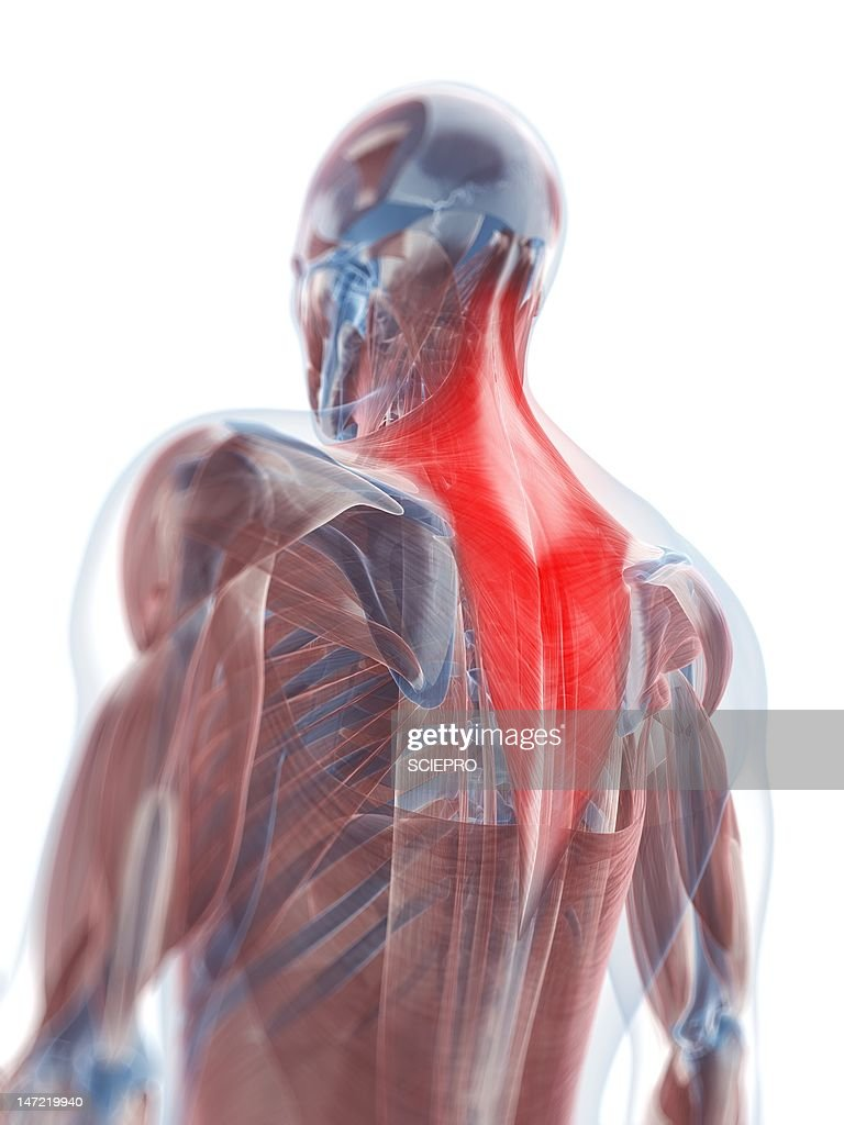 Trapezius Muscle Artwork Stock Illustration Getty Images