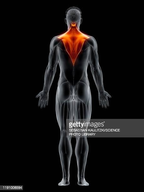 trapezius muscle, illustration - 人の背中点のイラスト素材/クリップアート素材/マンガ素材/アイコン素材