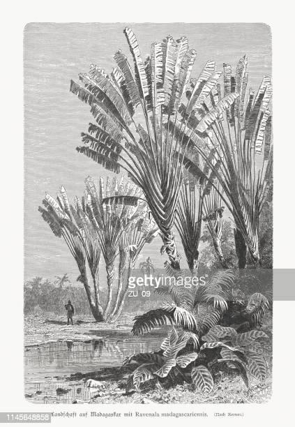 ilustrações de stock, clip art, desenhos animados e ícones de traveller's tree (ravenala madegascariesis) on madagascar, wood engraving, published 1897 - madagáscar