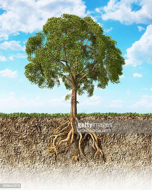 tree roots in the soil, artwork - root stock illustrations, clip art, cartoons, & icons