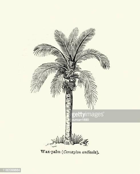 trees, ceroxylon, wax palm tree - graphic print stock illustrations