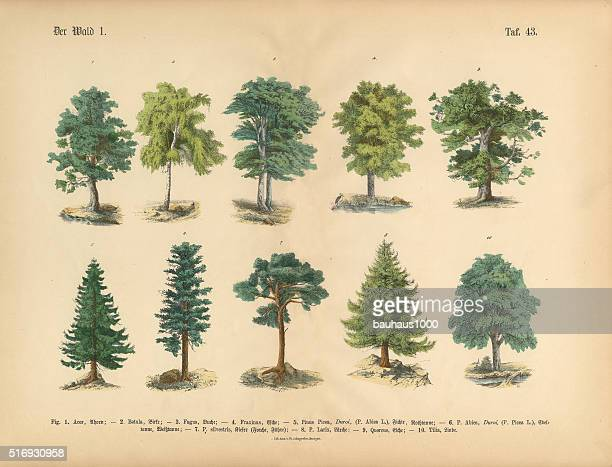 trees in the forest, victorian botanical illustration - spruce tree stock illustrations