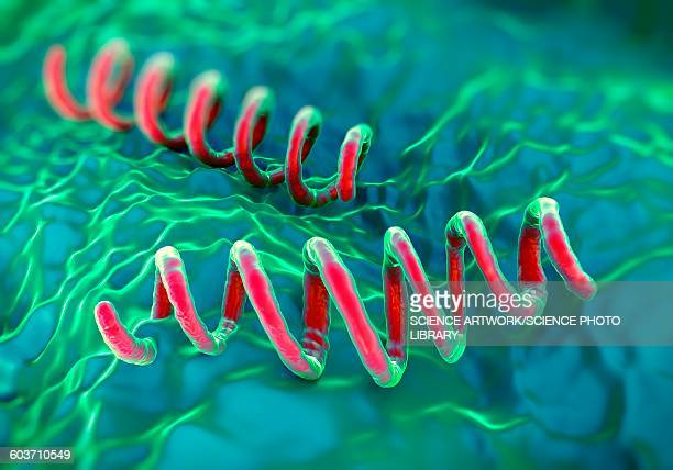ilustraciones, imágenes clip art, dibujos animados e iconos de stock de treponema pallidum bacteria, illustration - sifilis