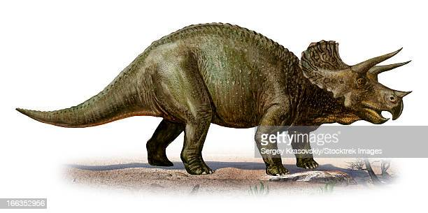 Triceratops prorsus, a prehistoric era dinosaur from the Late Cretaceous period.