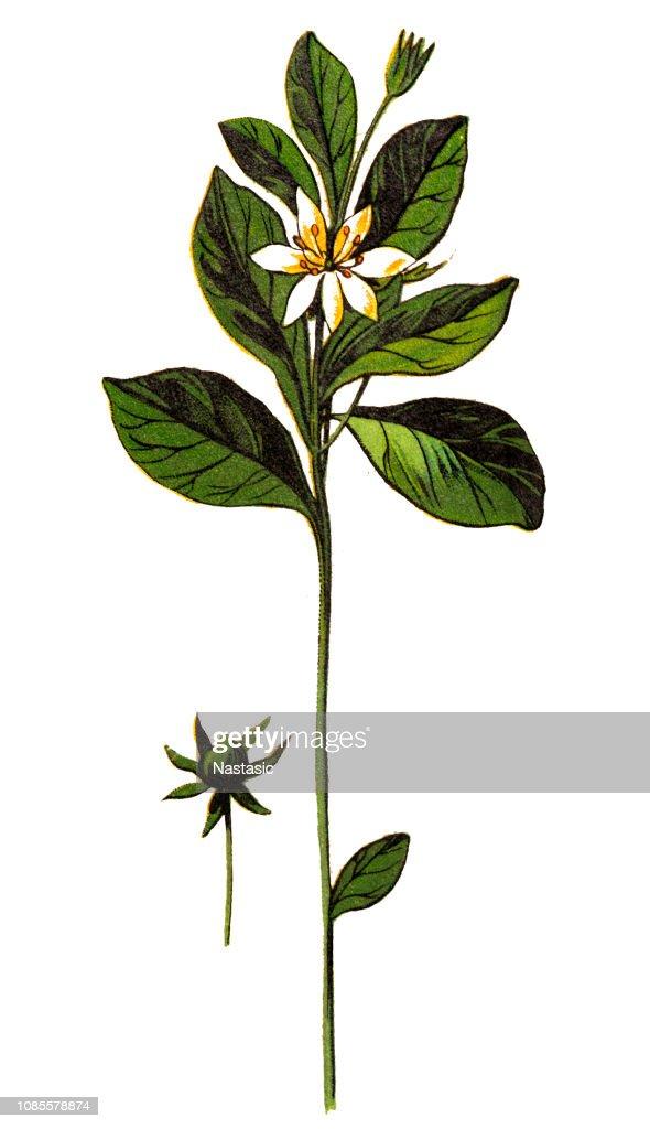 Trientalis europaea (chickweed-wintergreen or arctic starflower) : stock illustration