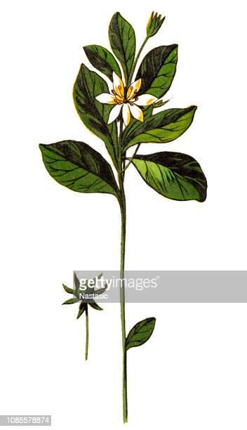 ilustrações, clipart, desenhos animados e ícones de trientalis europaea (starflower chickweed-wintergreen ou ártico) - chickweed