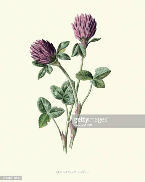 trifolium pratense, red clover, botanical flower print - wildflower stock illustrations