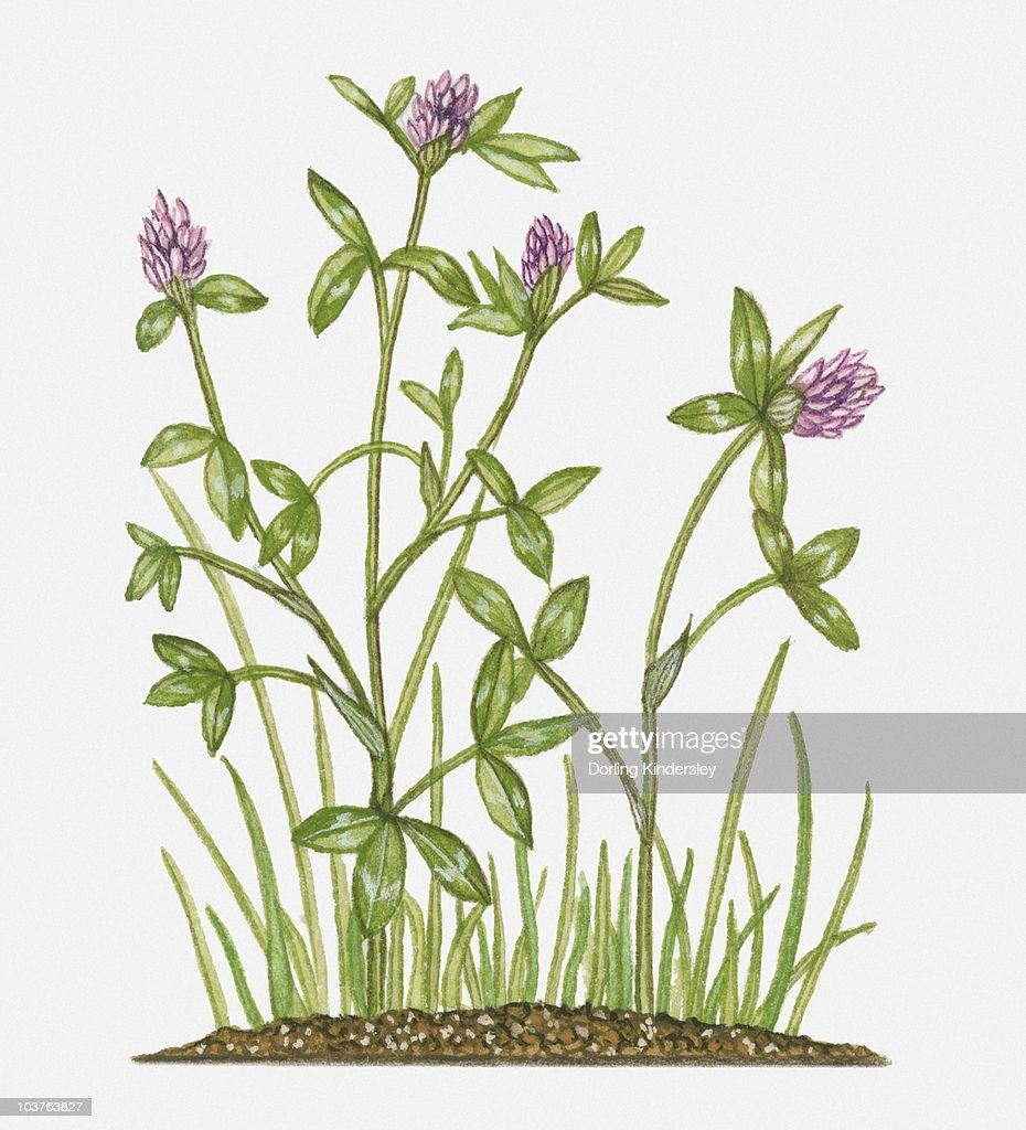 Trifolium Pratense With Dark Pink Flowers And Green Leaves On Tall
