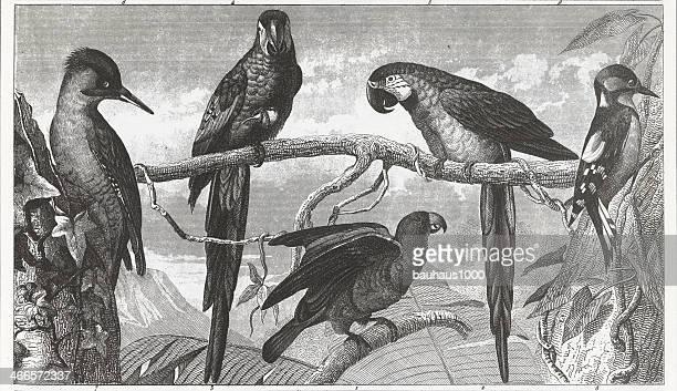 Oiseaux tropicaux gravé