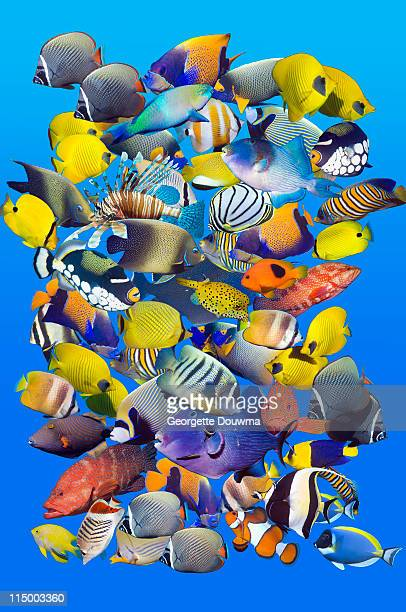 Tropical reef fish montage.