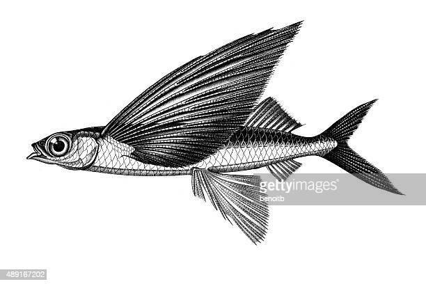 illustrations, cliparts, dessins animés et icônes de tropical aile flyingfish deux - poisson