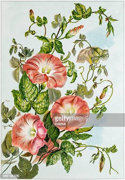 Trumpet flowers 19 century illustration