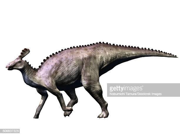 Tsintaosaurus dinosaur, white background.