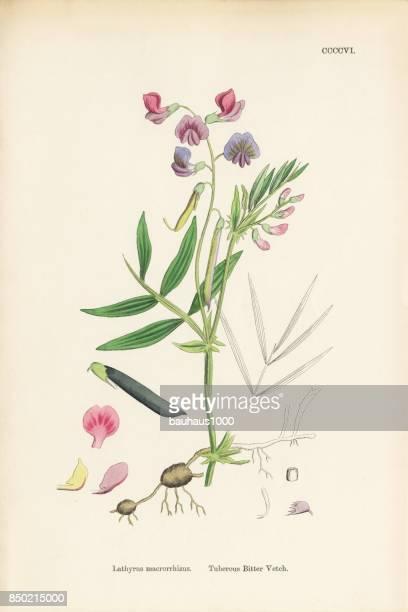 tuberous bitter vetch, lathyrus macrorrhizus, victorian botanical illustration, 1863 - plant bulb stock illustrations