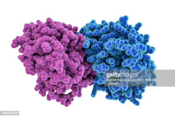 tubulin dimer, molecular model - protein stock illustrations