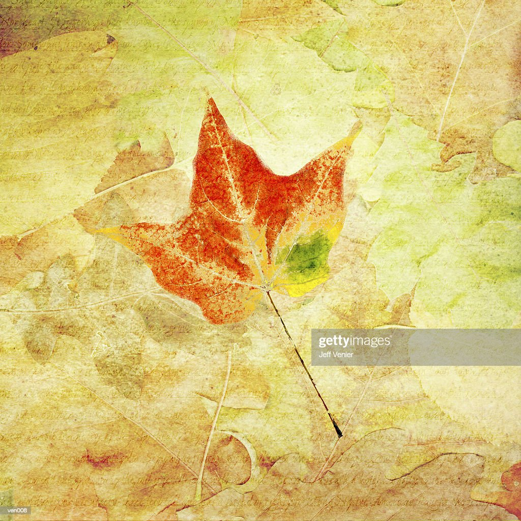 Tulip Maple Leaf : Stock Illustration