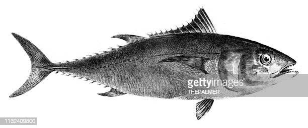 tuna fish engraving 1842 - etching stock illustrations