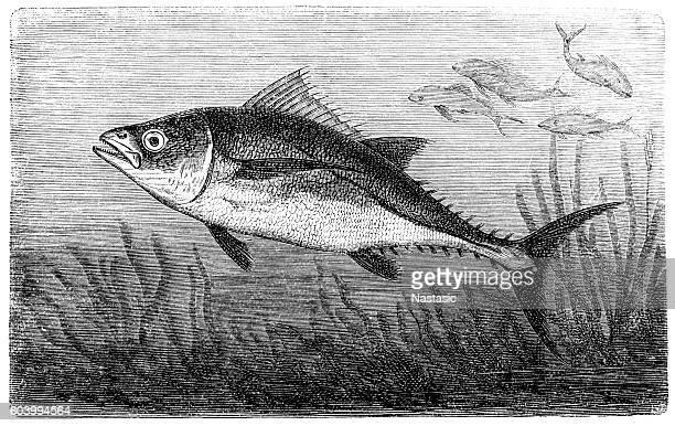 ilustrações, clipart, desenhos animados e ícones de atum - organismo aquático