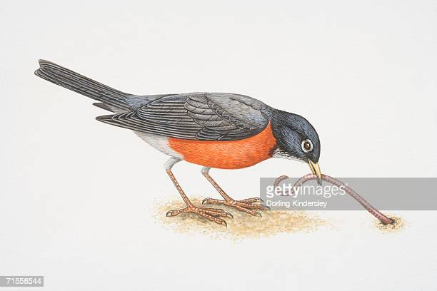 Turdus migratorius, American Robin pulling an earthworm out of the ground with its beak, side view.
