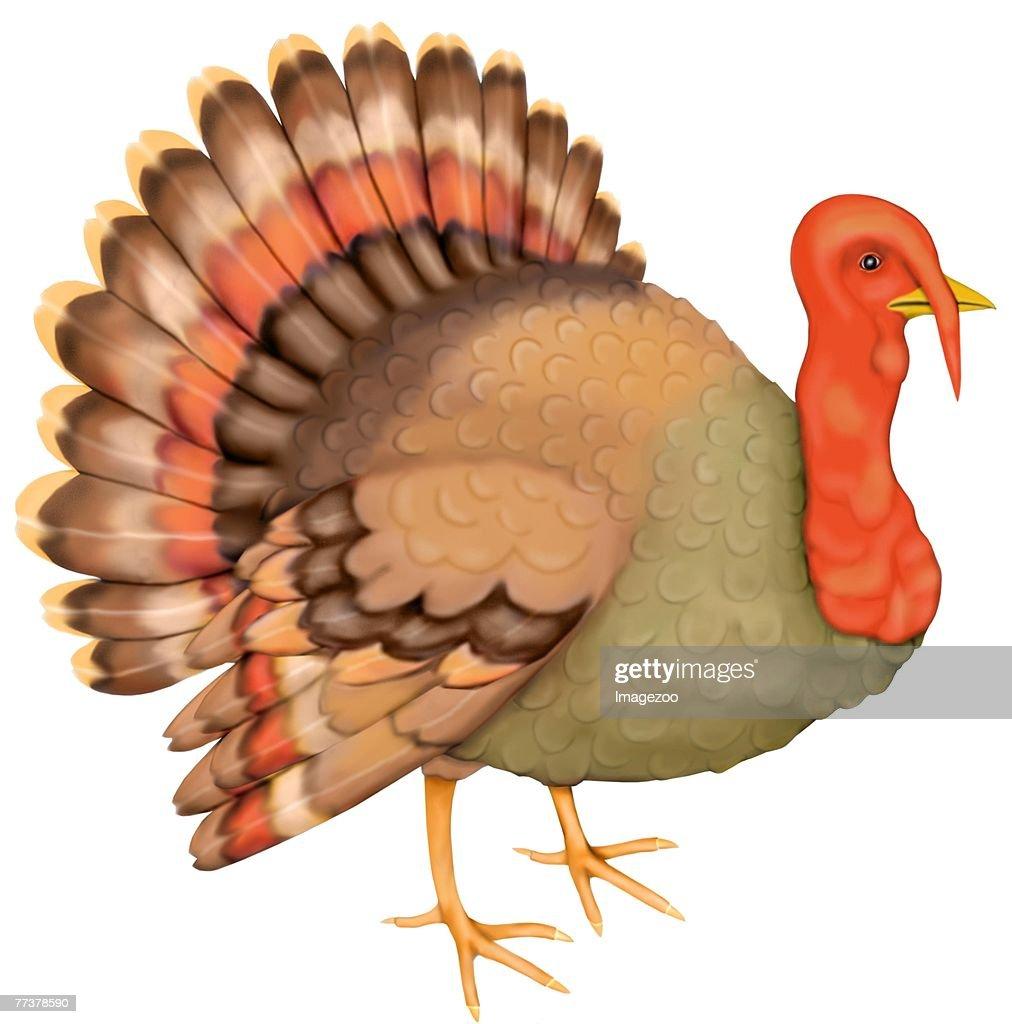 turkey : Illustration