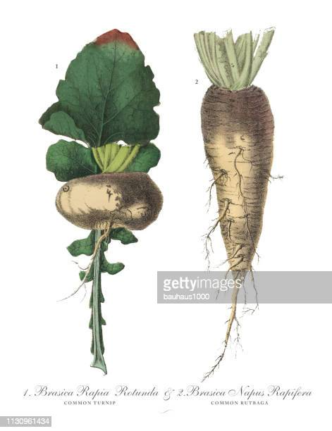 turnip and rutabaga, root crops and vegetables, victorian botanical illustration - rutabaga stock illustrations, clip art, cartoons, & icons