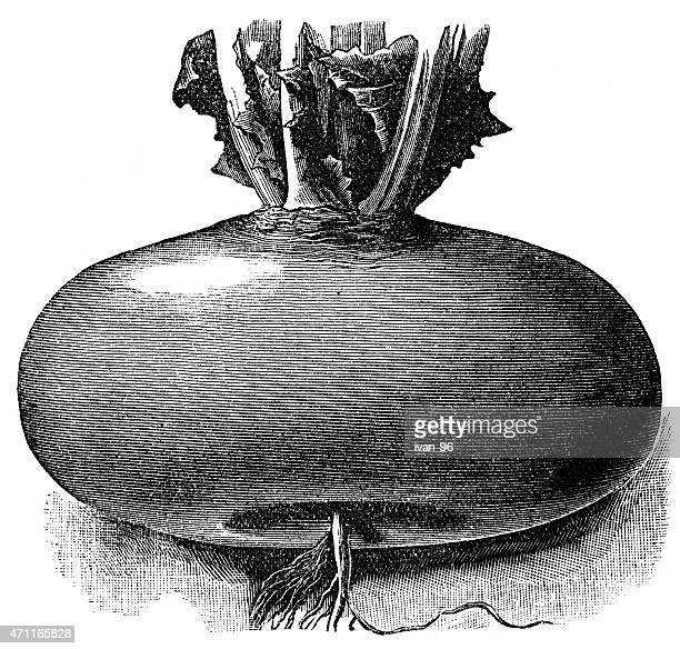 turnip - rutabaga stock illustrations, clip art, cartoons, & icons
