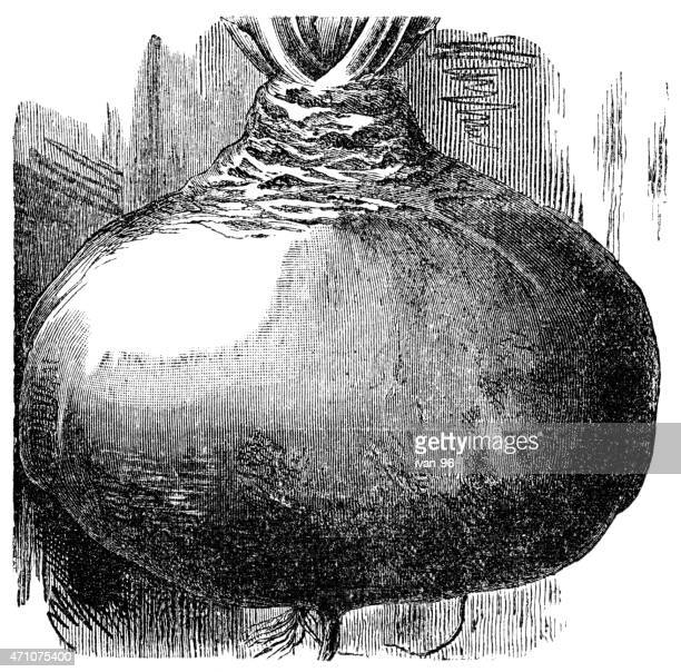 turnip root - rutabaga stock illustrations, clip art, cartoons, & icons