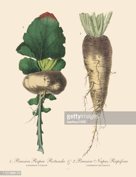 turnip & rutabaga, root crops and vegetables, victorian botanical illustration - rutabaga stock illustrations, clip art, cartoons, & icons