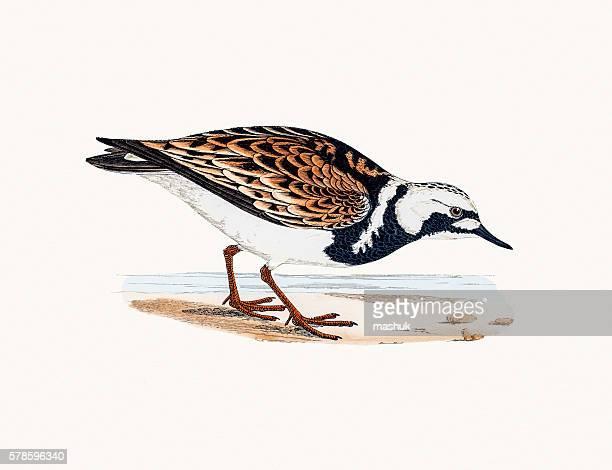 turnstone bird - sandwort stock illustrations, clip art, cartoons, & icons