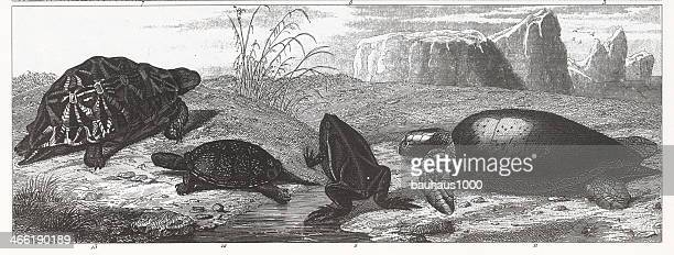 turtles & frog engraving - green turtle stock illustrations, clip art, cartoons, & icons