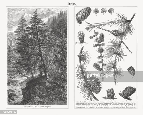 twigs and cons of different types of larch trees, published 1897 - coniferous tree stock illustrations, clip art, cartoons, & icons
