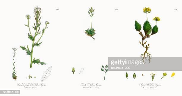 ツイスト-ポッド推進器をひょう疽草、イヌナズナ ストック、ビクトリア朝の植物図、1863