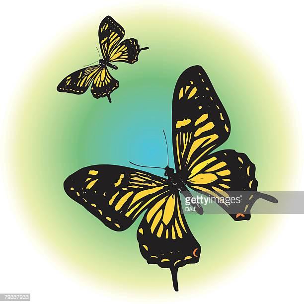 Two black swallowtail butterflies