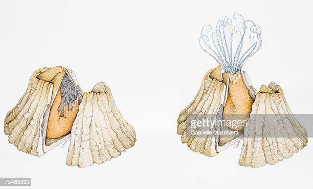 two cross-section views of a barnacle (cirripedia) living inside its case, one with its body completely folded in, the other with legs extended out to catch food - other stock illustrations, clip art, cartoons, & icons