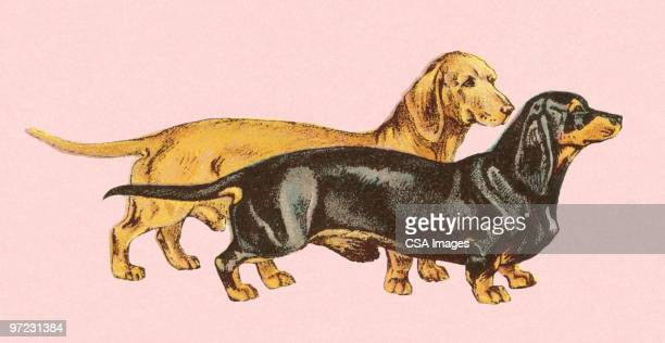 two dachshunds - best in show stock illustrations