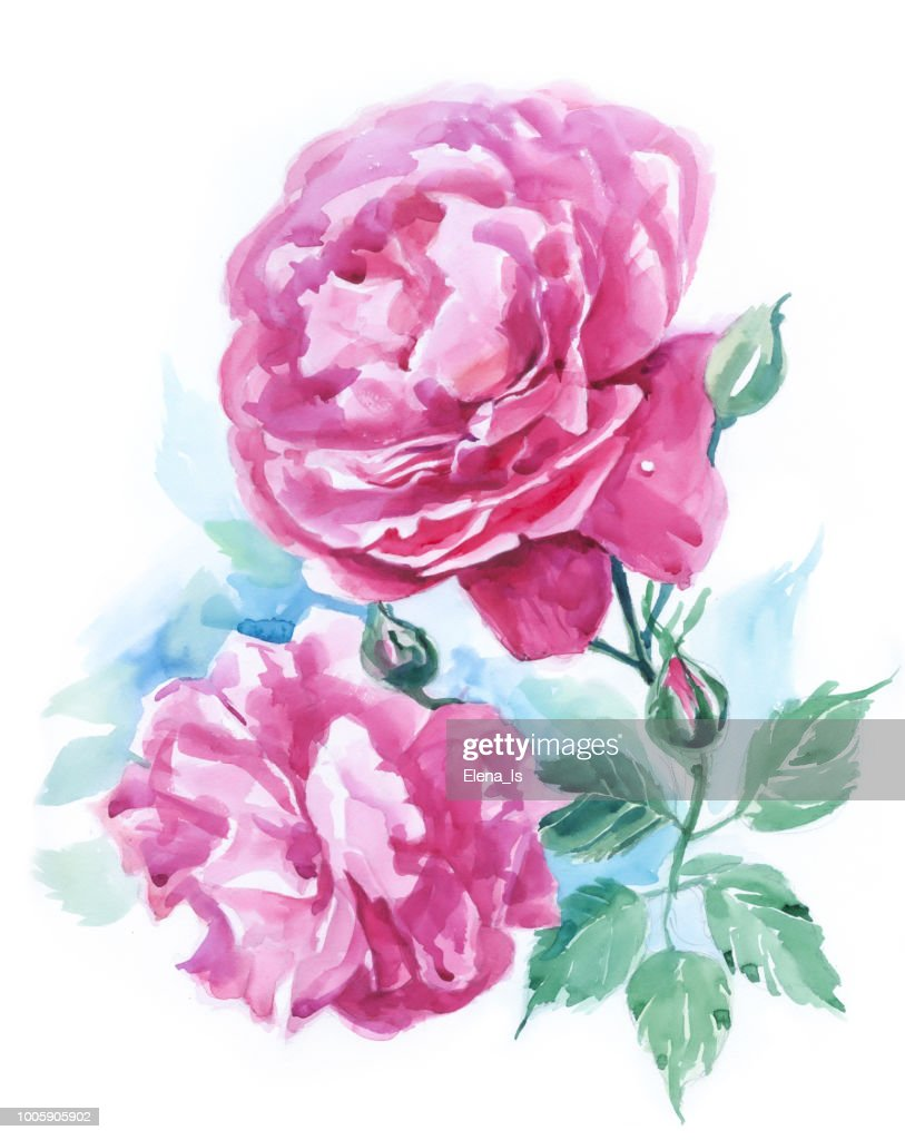 Two Flowers Of A Rose On A White Background Watercolor Stock