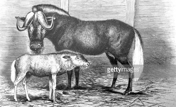 ilustraciones, imágenes clip art, dibujos animados e iconos de stock de dos ñus en el establo - puesto de mercado