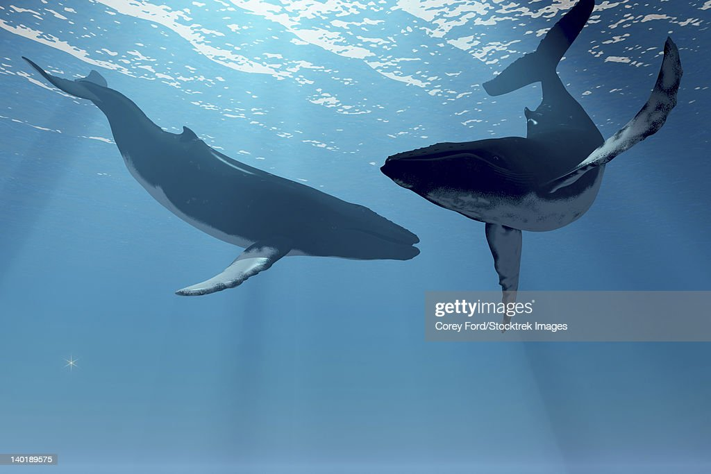 Two humpback whales frolic in the rays of light from the sun. : stock illustration