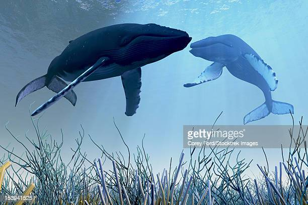 two humpback whales rest and sleep over a reef in shallow ocean waters. - humpback whale stock illustrations, clip art, cartoons, & icons