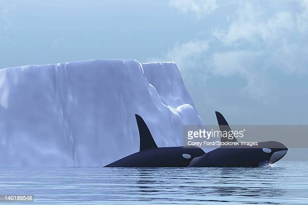 two killer whales swim near an iceberg in the arctic ocean. - killer whale stock illustrations, clip art, cartoons, & icons