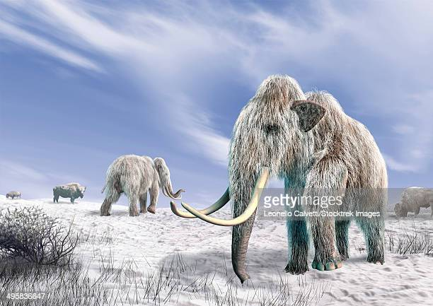 Two Woolly Mammoths in a snow covered field with a few bison.